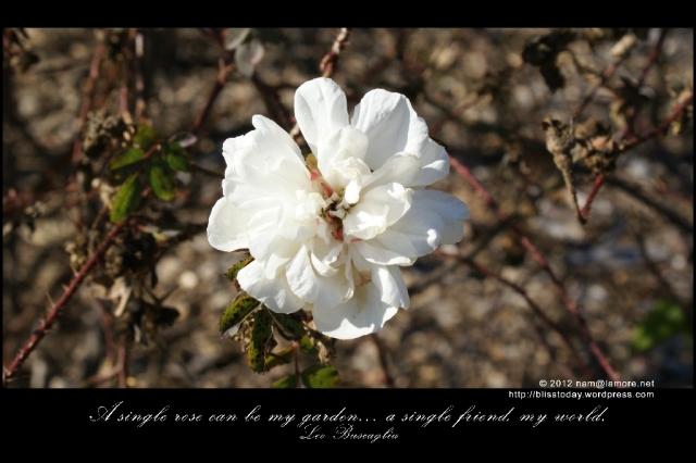 leo buscaglia: a single rose can be my garden... a single friend, my world